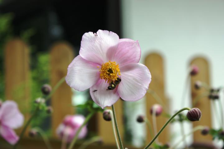 Herbstanemone versorgt Bienen bis Oktober mit Pollen