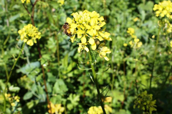 Weißer Senf - Pollen und Nektar im November