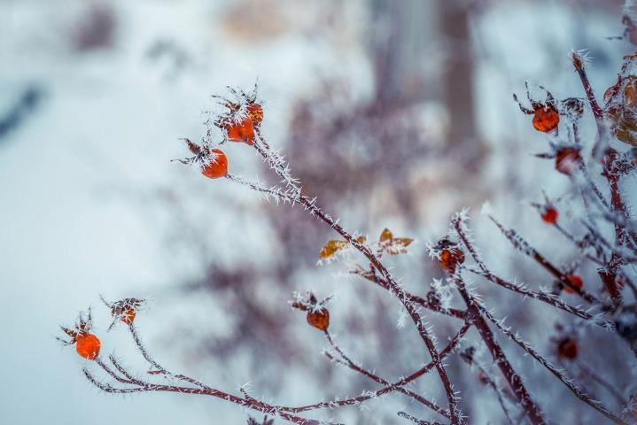 Hagebutten von wilden Rosen sind nahrhaftes Vogelfutter