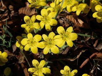 Winterling - ein Frühblüher, der Bienen Nektar und Pollen liefert