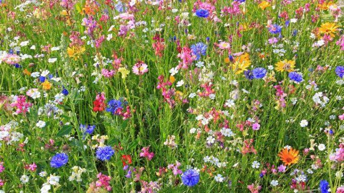 Wildblumenwiesen bieten Pollen und Nektar für Biene und Hummel