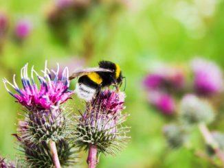 Hummeln gehören zu den Echten Bienen