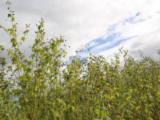 Sida - wertvolle späte Bienenweide