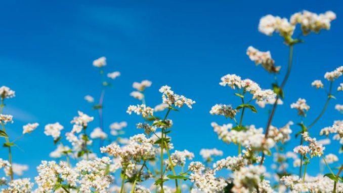 Buchweizen - glutenfrei und Bienen-freundlich