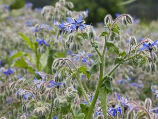 Borretsch - Gurkenkraut als Bienenweide bis Oktober
