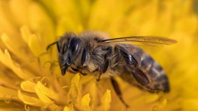 Pestizide und Monokulturen machen Bienen das Leben schwer