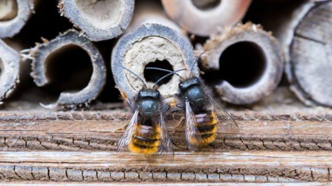 Mauerbienen, die Individualisten unter den Bienen