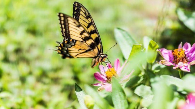 Zahl der Schmetterlinge geht zurück