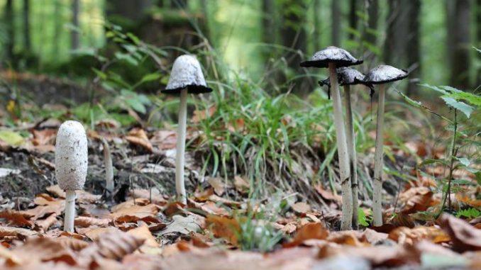 Schopftintling - Pilz mit besonderen Eigenschaften