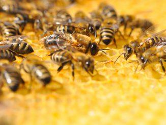 Bienen in Honigwabe