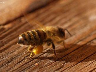 Nahaufnahme Biene